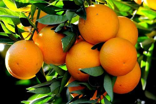خواص نارنج و تداخل آن با داروها