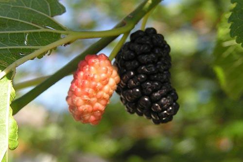 میوه بهاری که یک سم زدای واقعی است